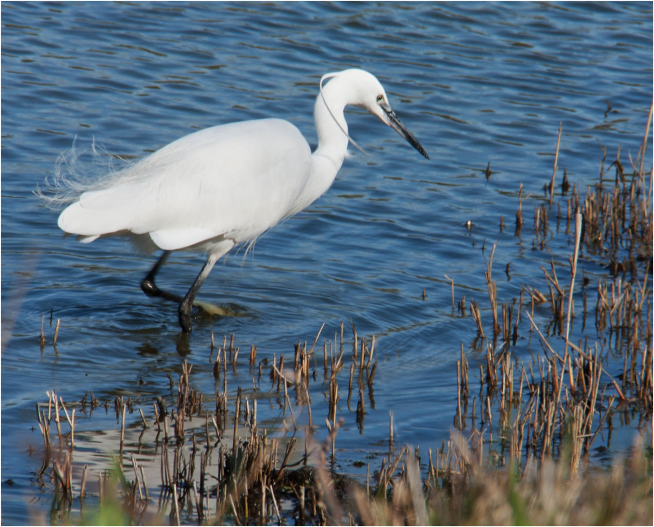 Little Egret#Thomas Peter