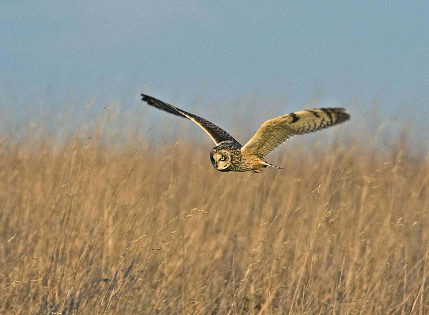 Short Eared Owl Hunting#Dickens Roger