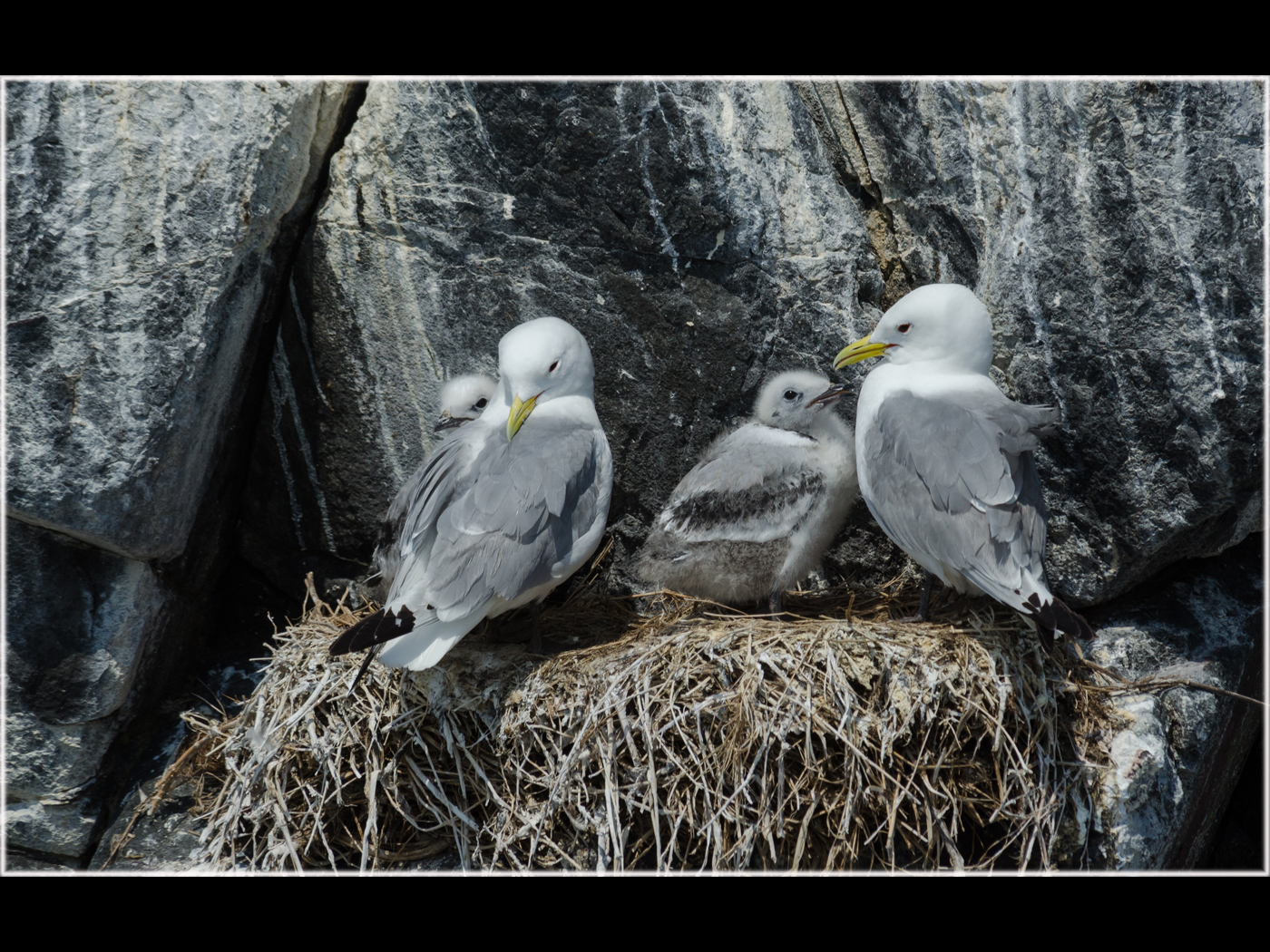Kittiwake Family