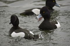 ASBO duck