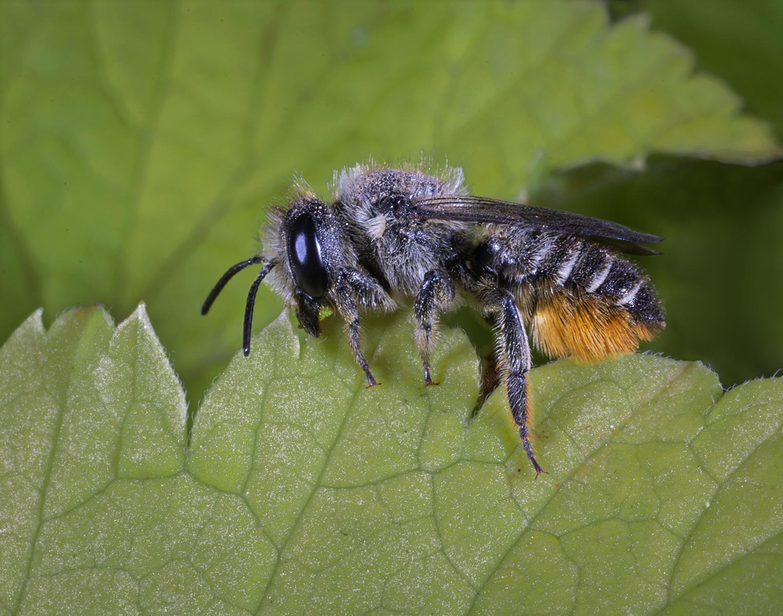 1_Leaf-Cutter-Bee