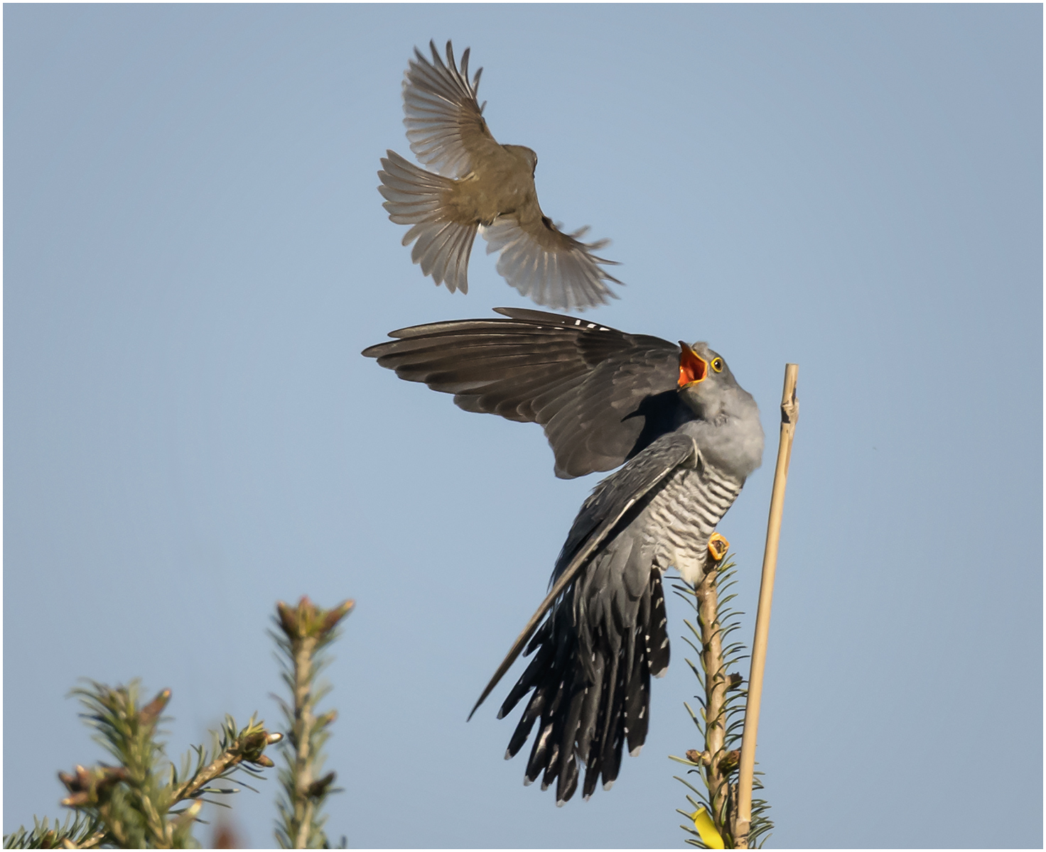 Cuckoo-Being-Mobbed-by-Robin