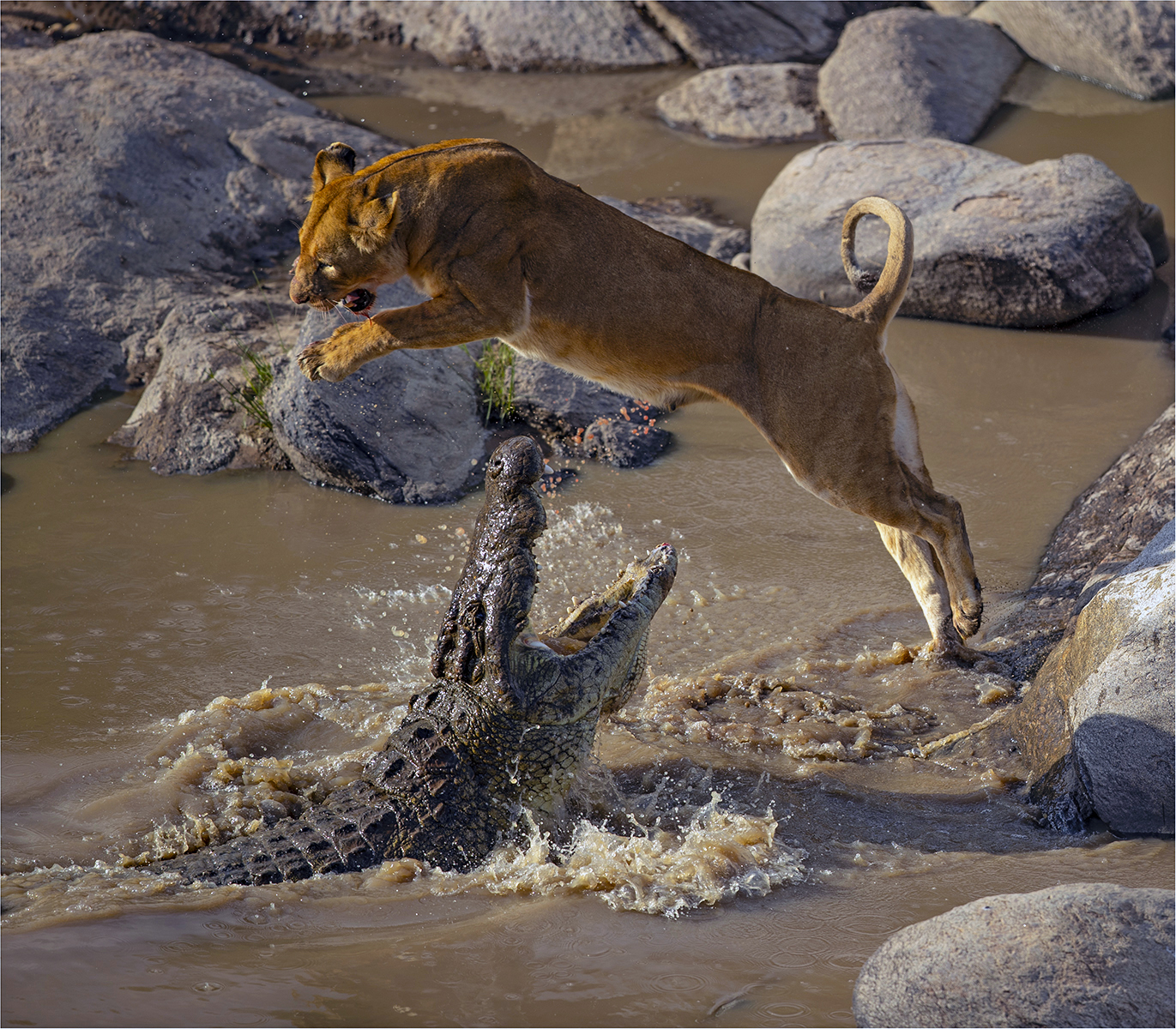 Lioness Leaping the Jaws of a Crocodile - Sue Green ARPS DPAGB BPE*2 - BPE Ribbon